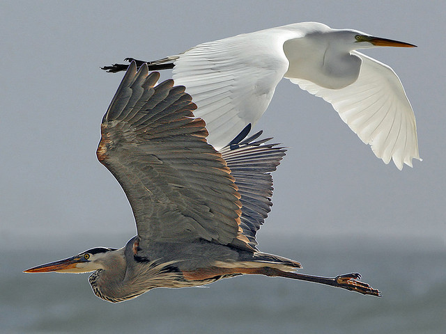 Great Egret and Great Blue Heron Composite - Michael L. Baird