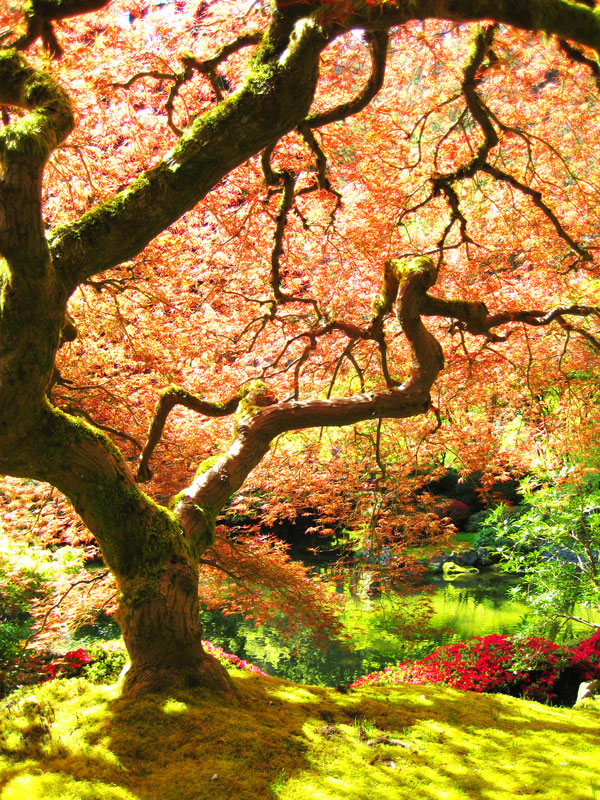 Portland_Japanese_Garden_maple-macbaen